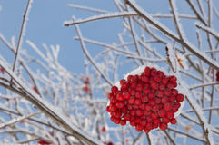 Close Up of Mountain Ash Berries Against Blue Sky Stock Photography
