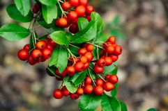 Mountain ash, rowan, red rowanberry. Close up of mountain ash, rowan, red rowanberry on tree branch with green leaves Stock Images