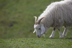 Close up of a mountain cashmere goat grazing royalty free stock photo