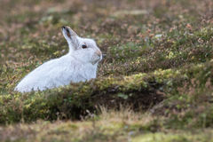 Close up of Mountain Hare Lepus timidus Stock Image