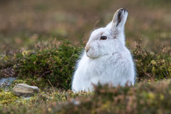 Close up of Mountain Hare Lepus timidus Stock Photo
