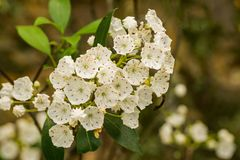 Close-up of Mountain Laurel in the Blue Ridge Mountains. Close-up View of Mountain Laurel in bloom located in the Blue Ridge Mountains in Virginia, USA royalty free stock photo