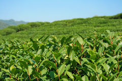 Close Up Of Mountain Tea Plantation Stock Photo