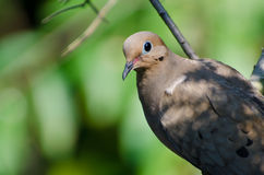 Close Up of a Mourning Dove Stock Photography