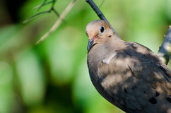 Close Up of a Mourning Dove Stock Photos