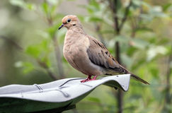 Close up of Mourning Dove perching on bird bath. A Mourning Dove bird Stock Photos