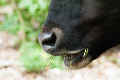 Close up of mouth of adult bull chewing grass. Its nose is heart shape Royalty Free Stock Image