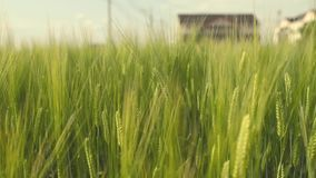 Close up moving wheat field on windy day stock video footage