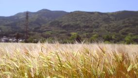Close up moving wheat field on windy day stock footage