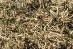 Close up of mown triticale on a cart which has been organically grown prior to threshing. Nahaufnahme von gemähter Triticale auf einem Wagen die biologisch stock images