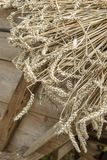 Close up of mown wheat on a cart before threshing with historical thresher Stock Photos