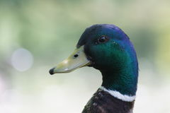 Close up of Mr. Mallard. Royalty Free Stock Image