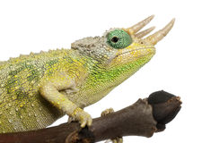 Close-up of Mt. Meru Jackson's Chameleon Stock Image