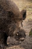 Close-up of muddy head of wild boar Stock Photography
