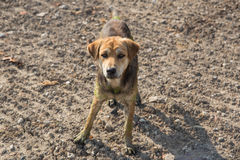Close up muddy, and wet dog. In the outdoors stock photography
