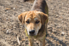 Close up muddy, and wet dog Stock Image