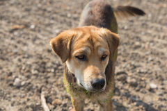 Close up muddy, and wet dog. In the outdoors Royalty Free Stock Photography