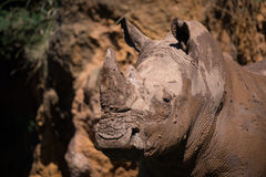 Close-up of muddy white rhinoceros staring out Royalty Free Stock Photo
