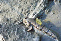 Close up mudskipper Stock Image