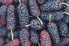 Mulberry fruits Stock Photography