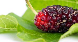 Close up of mulberry with a green leaves on the white background Isolated background. Mulberry this a fruit and can be eaten in. Have a red and purple color Royalty Free Stock Images