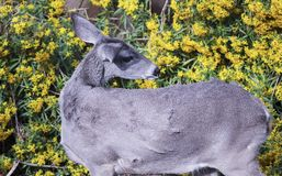 A Close Up of a Mule Deer Stock Image