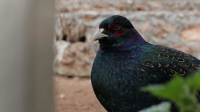 Close-up of multi-colored bird watching and blinking eye, he turns and walks away stock footage