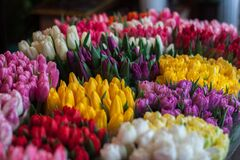 Close-up of Multi Colored Tulips Royalty Free Stock Image