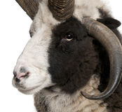 Close-up of Multi-horned Jacob Ram. Ovis aries, in front of white background royalty free stock images