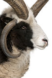 Close-up of Multi-horned Jacob Ram. Ovis aries, in front of white background stock photography