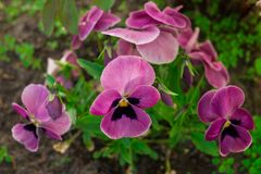 Close-up of multicolored yellow and purple pansy. stock photography