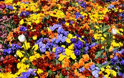 Close up of multicolour pansy flowers. Close up of multicolour blue, yellow, orange, red pansy flowers or pansies blooming in the garden. Close-up of blooming stock images