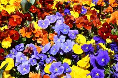 Close up of multicolour pansy flowers. Close up of multicolour blue, yellow, orange, red pansy flowers or pansies blooming in the garden. Close-up of blooming royalty free stock photos
