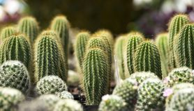 Cacti Lined Up in a Row royalty free stock photo