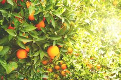 Close up of multiple organic ripe perfect orange fruits hanging on tree branches in local produce farmers garden. Beautiful orange Stock Photos