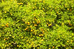 Close up of multiple organic ripe perfect orange fruits hanging on tree branches in local produce farmers garden, sunshine beams. Close up of ripe organic Royalty Free Stock Photography