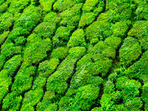 Close up of Munnar tea hills Royalty Free Stock Photography