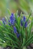 Close up muscari hyacinth Stock Images