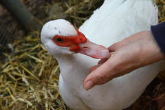 Free Close-up Muscovy Duck Stock Photo - 78496790