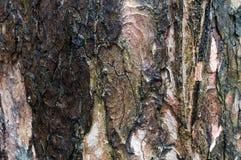 Close up musgoso da textura da casca de madeira velha, teste padrão do fundo natural Imagens de Stock Royalty Free