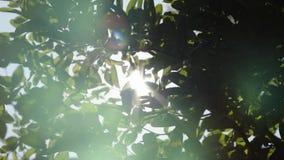 Bright Sun Shines Through Green Tree Foliage stock video