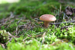 Close-up of Mushroom in a Forest Stock Images