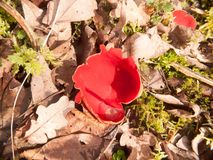 Close up of mushroom forest floor scarlet elf cup red. Essex; england; uk Royalty Free Stock Photos