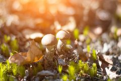 Close-up mushroom Leccinum scabrum grows in the forest. Little mushrooms, soft bokeh, green grass, leafs. Sunny summer day after r Royalty Free Stock Photos