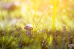 Close-up mushroom Leccinum scabrum grows in the forest. Little mushrooms, soft bokeh, green grass, leafs. Sunny summer day after r Royalty Free Stock Images