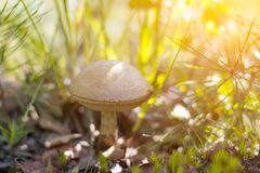 Close-up mushroom Leccinum scabrum grows in the forest. Little mushrooms, soft bokeh, green grass, leafs. Sunny summer day after r Royalty Free Stock Photo