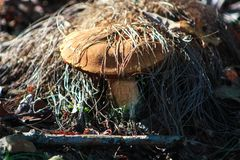 Close-up on mushroom in nature. Cep hidden under dead grass in the forest with Vegetation royalty free stock photography