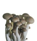 Close up of mushroom Royalty Free Stock Image