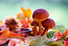 Close Up of Mushrooms Amongst Autumn Foliage Stock Photos