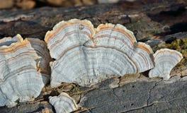 Mushrooms (bracket-fungus) 6 Stock Image